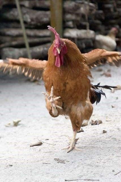 Il Gallo d'Oro